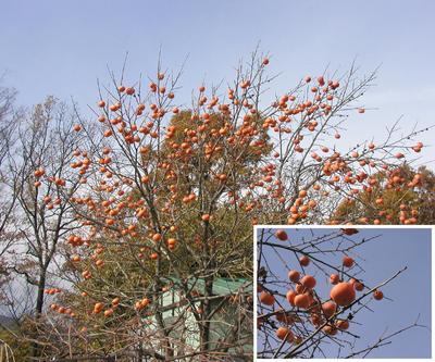 秋の実り・柿